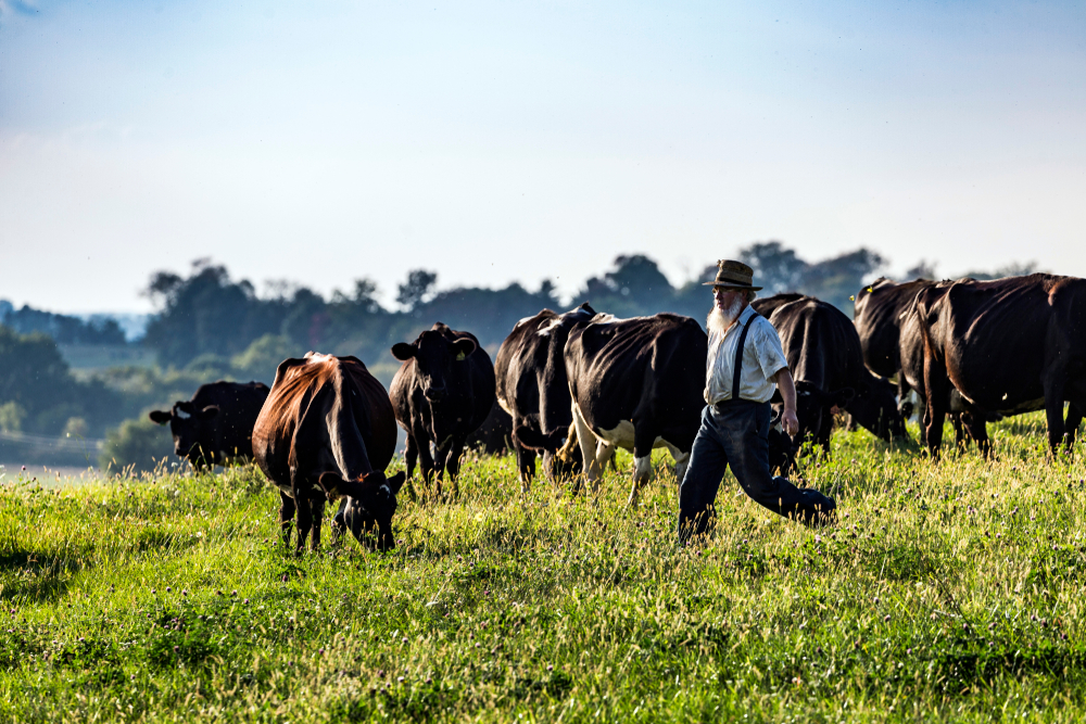 A farmer in Amish country Ohio with his cows in field.