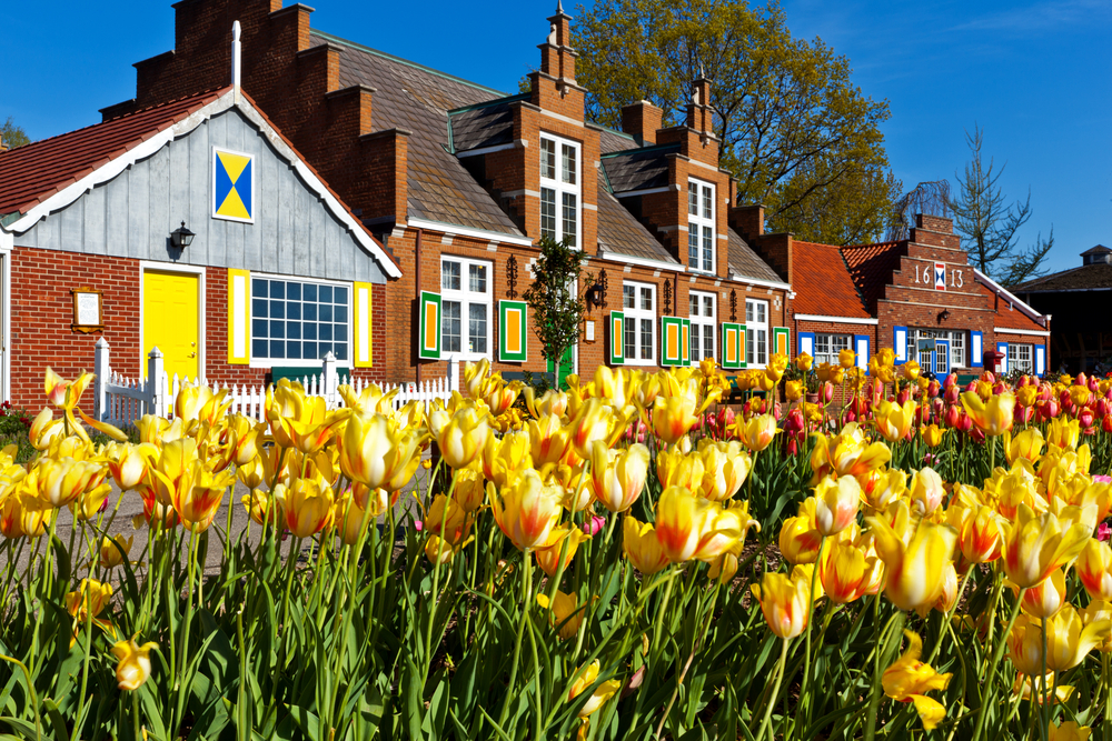 Brilliant yellow tulips in foreground with European-inspired red brick building in background in Holland MI.