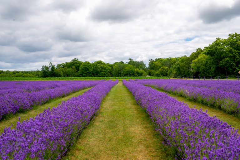 Beautiful purple lavender fields with green trees in background.