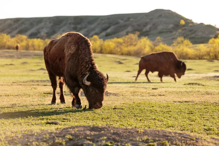Bison at Theodore Roosevelt National Park.