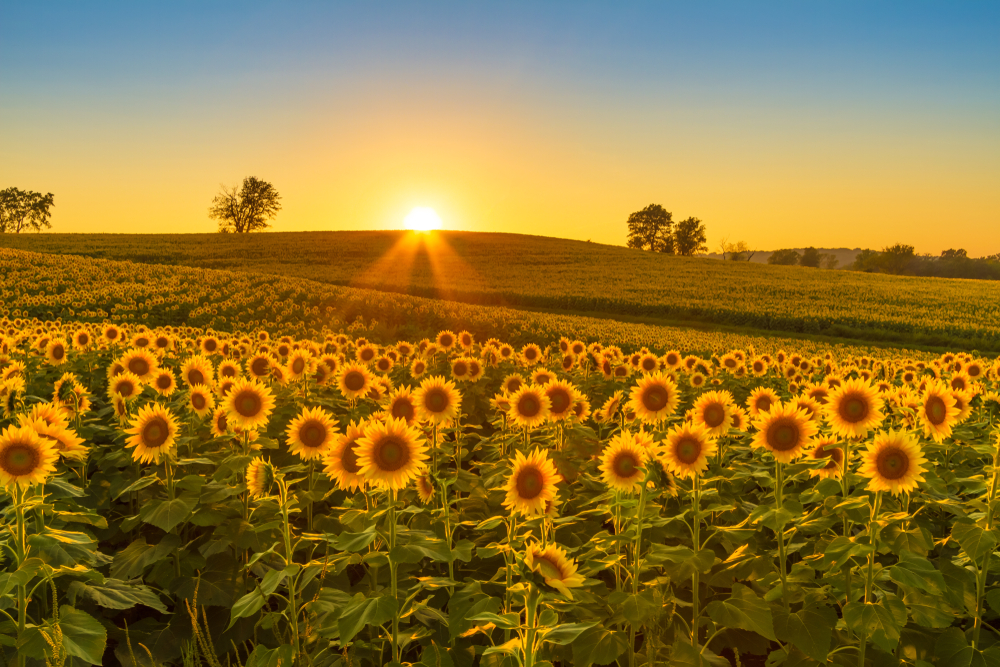 Sunflowers Midwest at sunset.