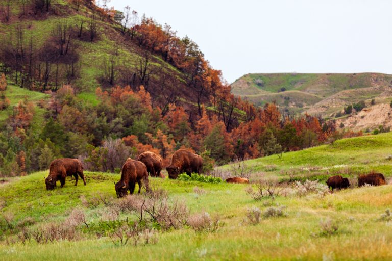 Bison grazing on hilly land.