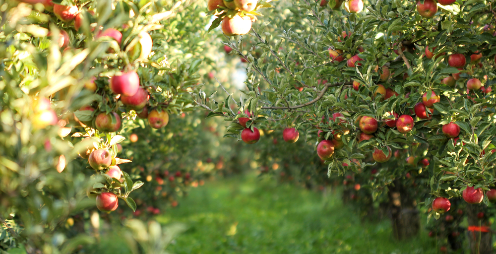 Apple trees full of red apples with sun shining through. Best apple orchards in Ohio.