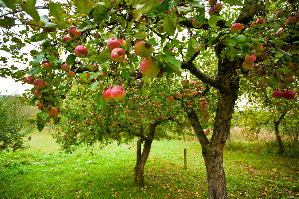 Apple orchard in Ohio with trees full of red apples.