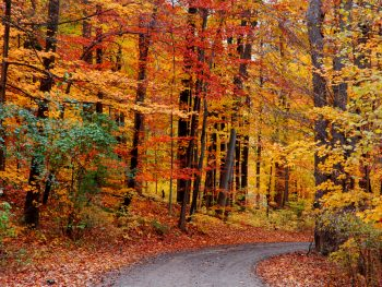 A dirt path that is curved surrounded by trees in the fall. The trees leaves are yellow, orange, red, and a few are still green. There are dried leaves on the ground. Its a great Fall in Michigan view.
