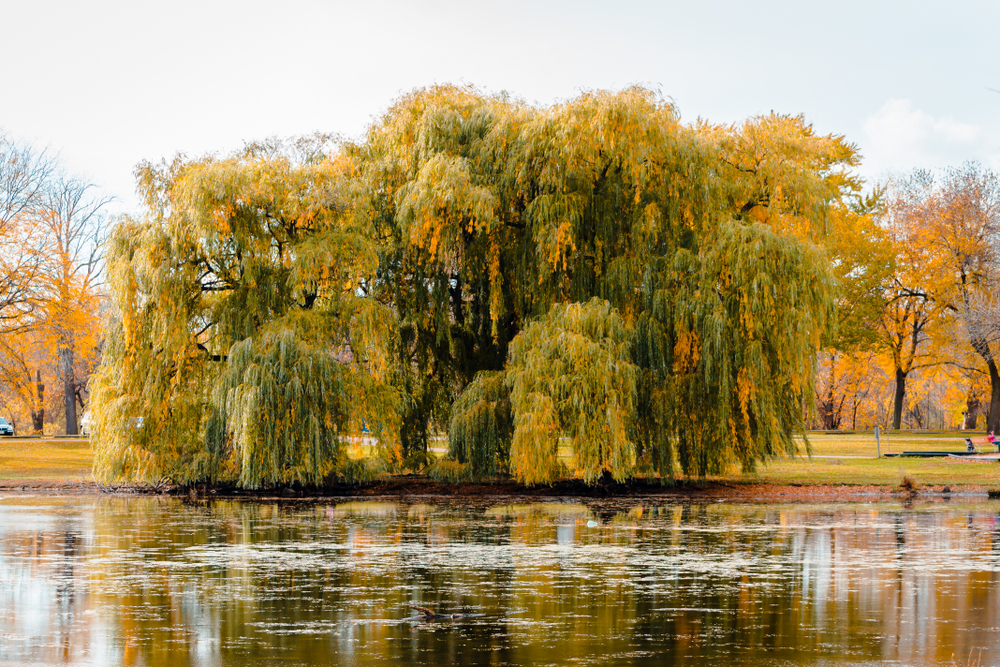 The view of a large willow tree across a small pond in a park in Grand Rapids Michigan. The willow trees has yellow, orange, and light green leaves. Behind it you can see a sprawling green space with trees with yellow and orange leaves.