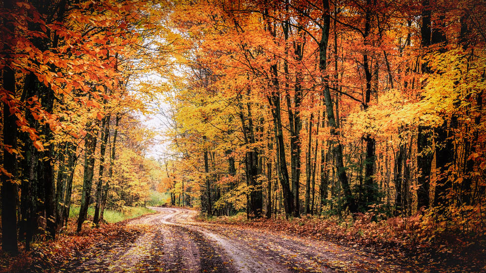 rural road with towering colorful yellow and orange autumnal trees meeting to form a tree tunnel to drive through.