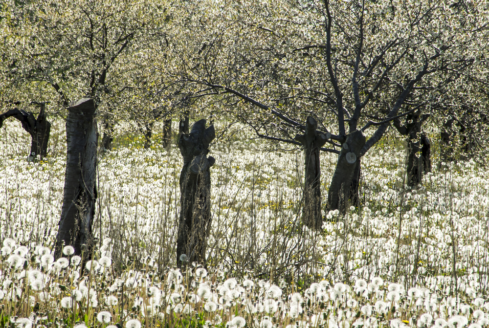 A Cheery Tree Orchard with dandelions on the floor in an article about things to do in Door County