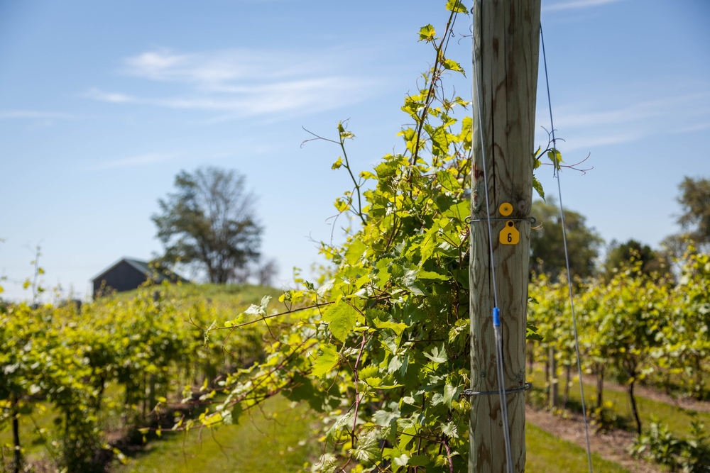 Grapevines in rows with a blue sky
