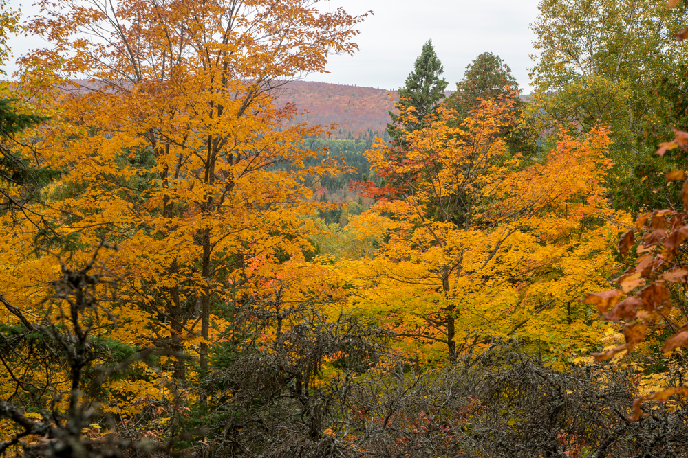 A view of a forest with colored leaves in the fall. The leaves are yellow, orange, and some are green and brown. In the distance you can see a mountain and it is cloudy.