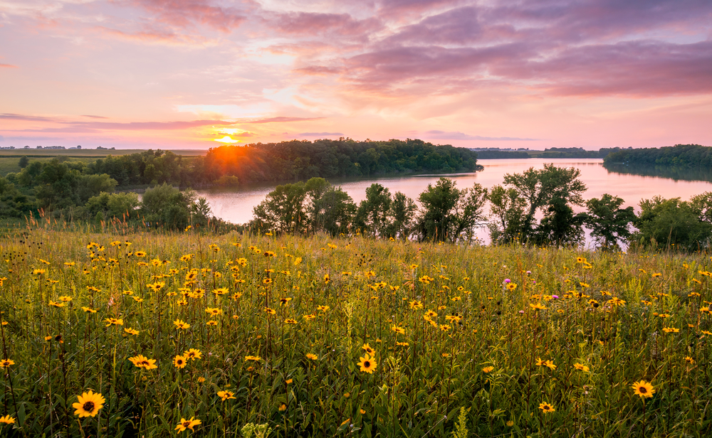 A field of yellow flowers in front of a lake in Minnesota. The lake is surround by trees and it is sunset.