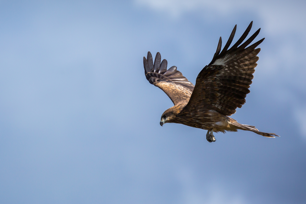 A Hawk flying in a blue sky with wings outstretched