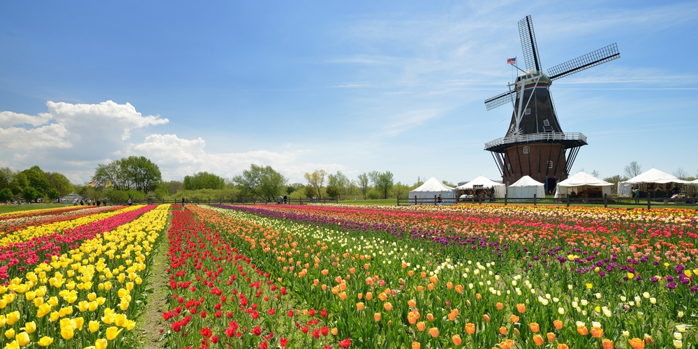 Rows of colorful tulips in a large field in Holland Michigan. There is a classic Dutch style windmill and near it there are white tents. There are trees in the distance behind the field. It is a very sunny day.