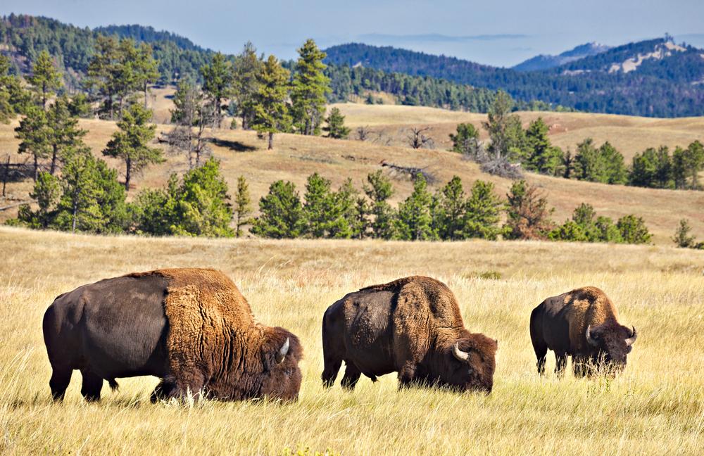 Bison grazing in a prairie in South Dakota.