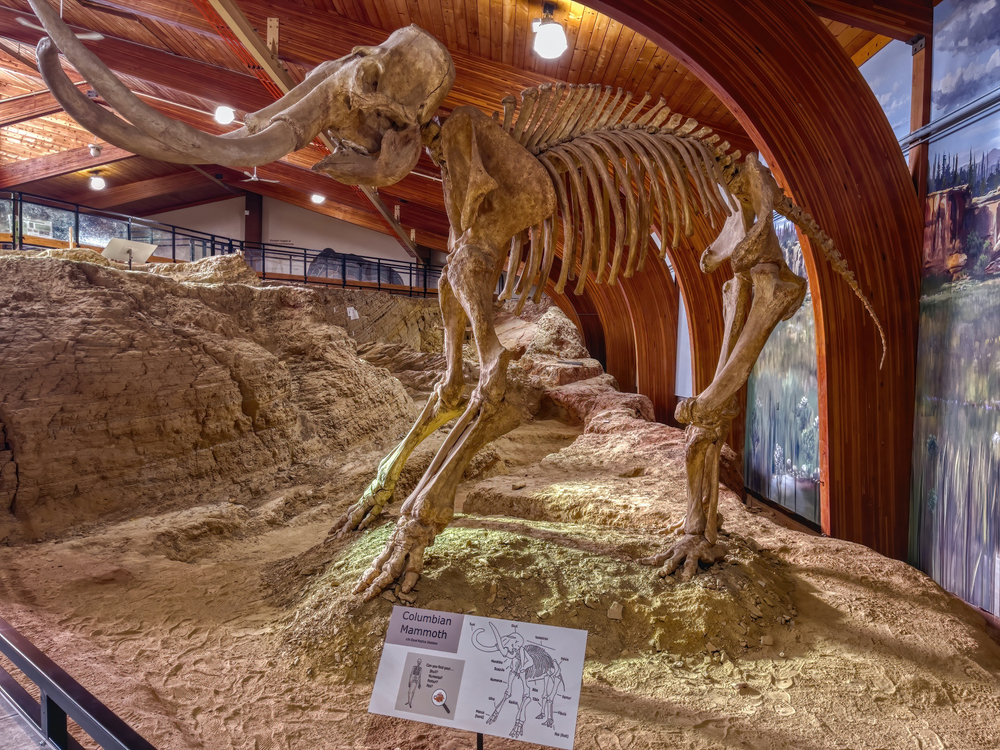 The fossils of a  large mammoth standing erect5 inside museum.
