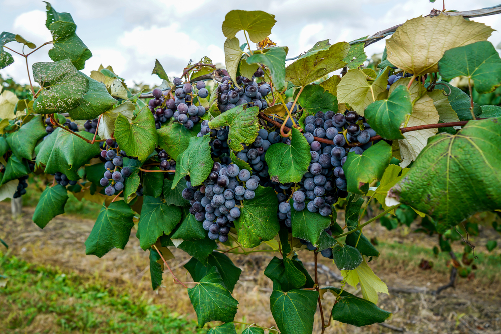 A close up image of purple grapes on a vine in a vineyard. The leaves around the grapes are very green and you can just barely see a cloudy sky and a grassy path below the plant.