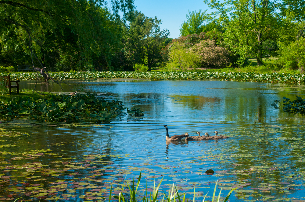 A pond that has lily pads, grasses, and large plants in it. There is also a goose with goslings swimming behind it. In the distance, on the shore of the pond, you can see lots of trees and tall grasses. One of the best Ohio day trips.