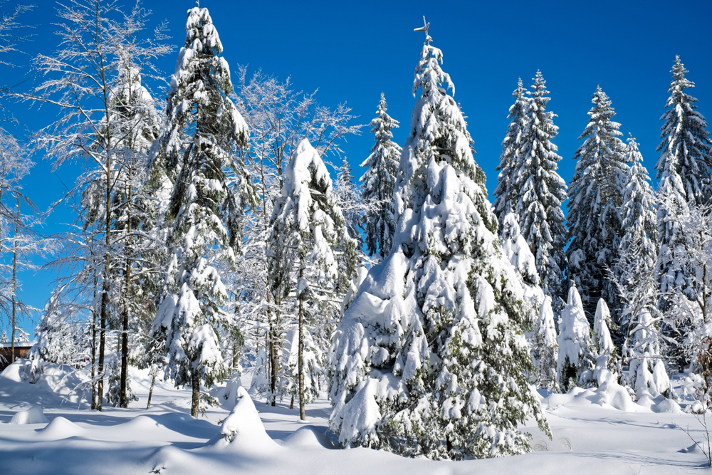 A dense area of evergreen trees along a flat area near a ski slope. The trees are covered in a thick layer of snow and there is a thick layer of snow on the ground. The sky is bright blue and there are no clouds.