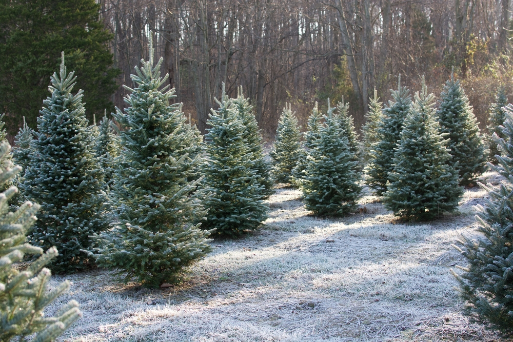 Evergreen trees with snow on ground and tall trees in background.