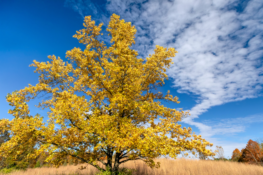 A tree with yellow leaves in a field in Fort Harrison State Park.