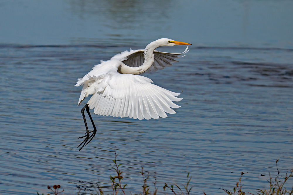 Great Egret flying into the water at Water Works Park.