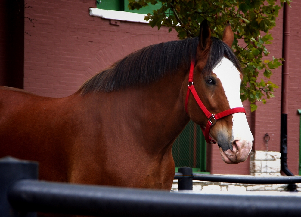 One of the Budweiser Clydesdales at Grants Farm, one of the best animal attractions in St. Louis.