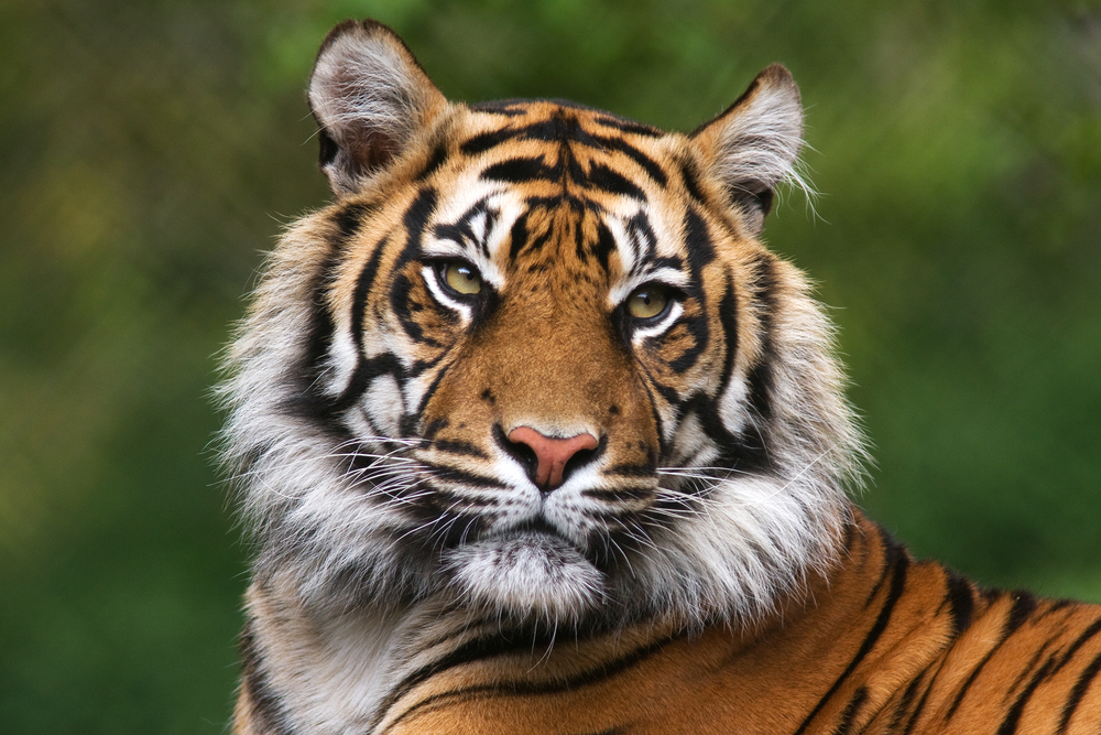Close up of a tiger at the St. Louis Zoo.