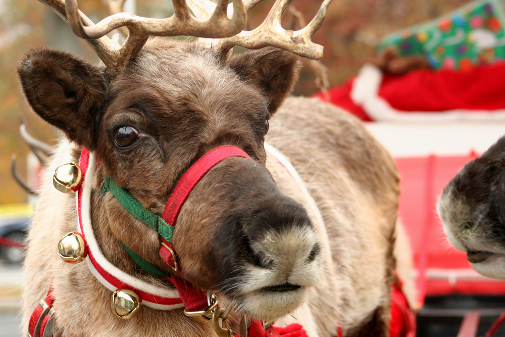 Close-up of a reindeer's face with jingle bells.