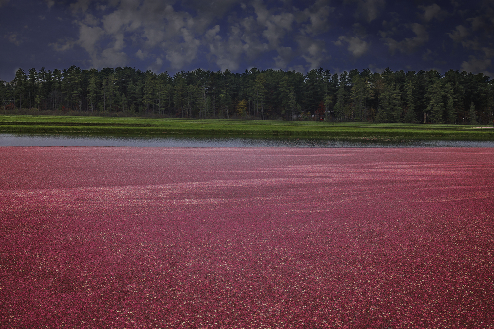 A cranberry marsh that is full of cranberries and in the distance you can see very green grass, a row of dense trees, and a dark sky with some scattered clouds.