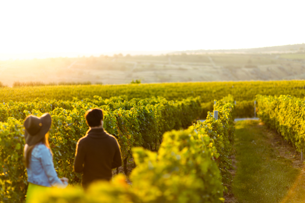 A couple walking down the row of a vineyard. You can see nothing but rows and rows of grapes in the vineyard. The couple have their back to the camera and aren't in focus but the vineyard is in focus. The best weekend getaway in Indiana.