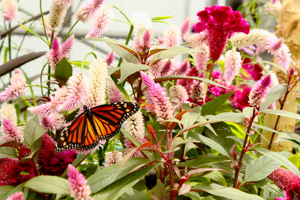 A monarch butterfly on a plant. The plant has dark pink and light pink flowers that grow in bunches straight up the stem.