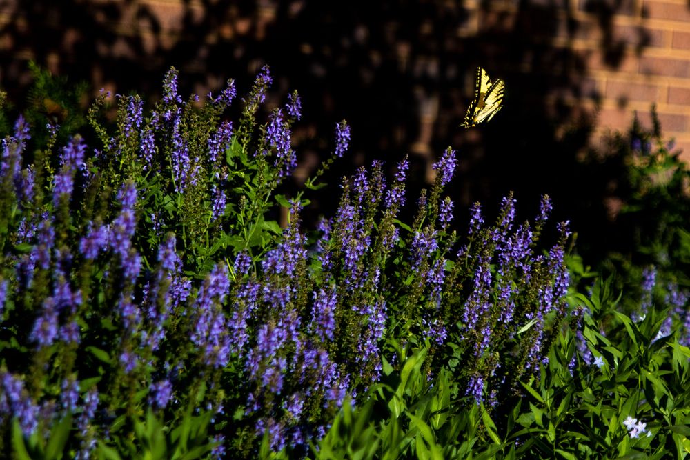 A bush with dark purple flowers on it. There is a yellow and black butterfly flying away from the flowers. Here is one of the best things to do in Lincoln!