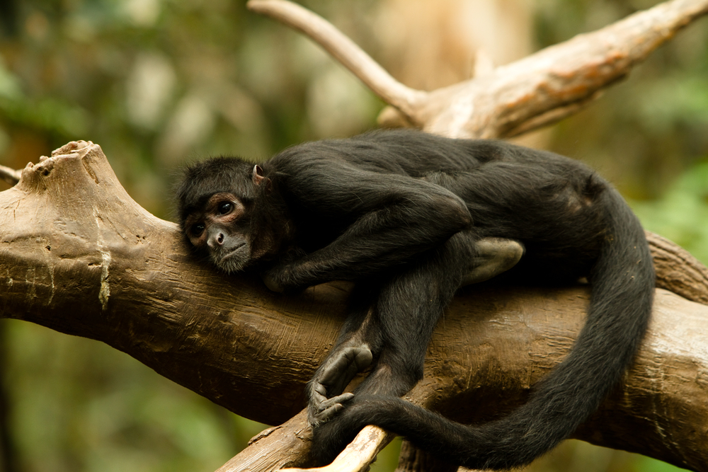 Monkey laying down on a branch of tree, visiting here is one of the best things to do on Nebraska
