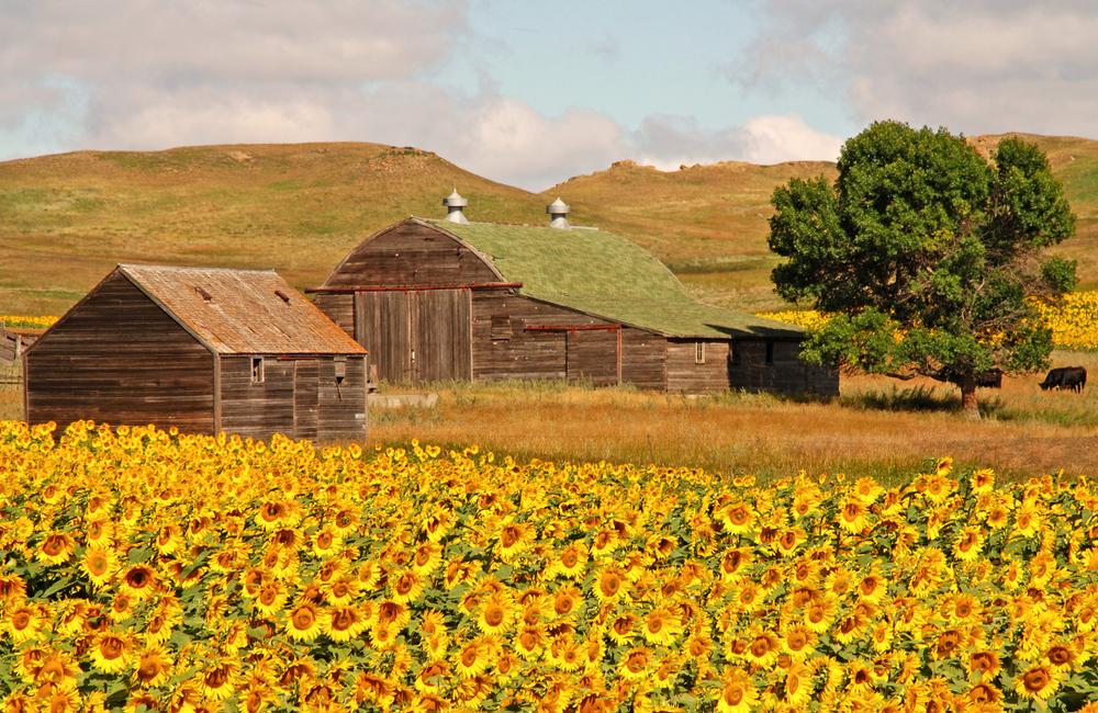 Sunflower field things to do in north dakota